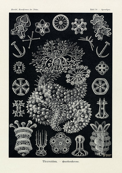 Vintage print of sea cucumber on black background by Ernst Haeckel, Thuroidea, lithograph plate 50 from Artforms of Nature