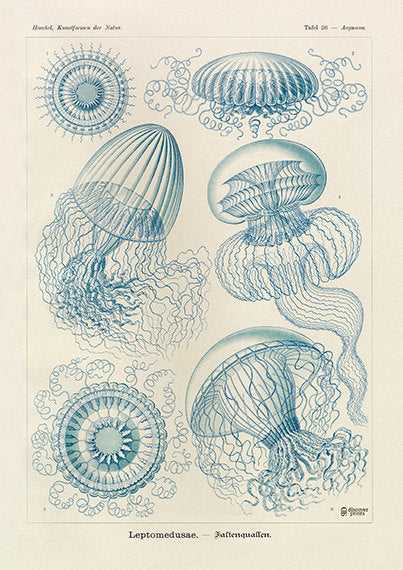 Vintage detailed print of blue jellyfish by Ernst Haeckel, Leptodmedusae, lithograph plate 36 from Artforms of Nature