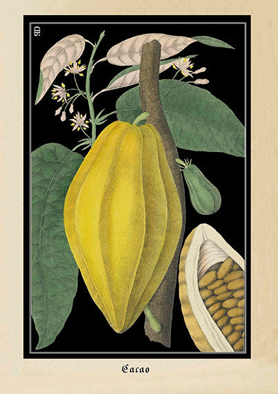 Vintage botanical illustration of a non ripe yellow cocoa bean with green leaves on black background by discoverprints