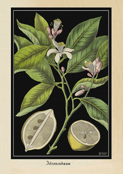 Vintage Lemon Fine Art Print - Antique Style Kitchen Wall Art - Jung Koch Quentell Style