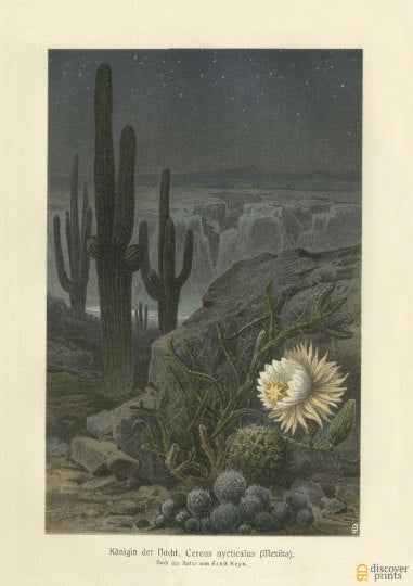 Queen of the Night Cactus Art Print - Antique Mexican Desert Art - Vintage Botanical Illustration - Museum Quality - Saguaro cactus Print