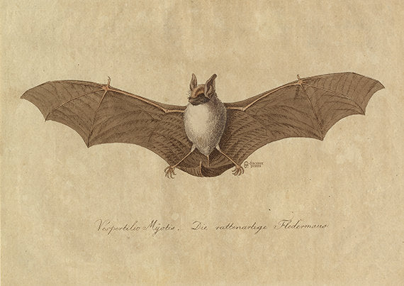Bat Art Print - Bat Poster - Peaceful Vintage Animal Illustration - Vintage Bat Illustration - Museum Quality