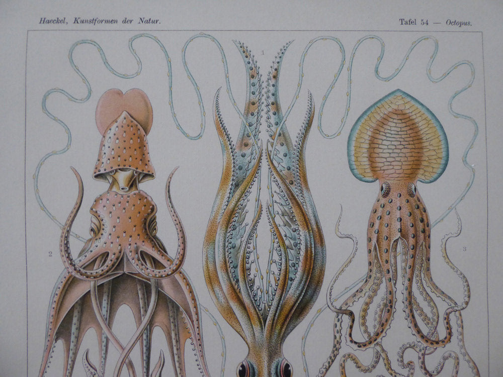 "Large A1 (25"" x 33"") Octopus Poster - Vintage Squid School Chart - Ernst Haeckel Octopus and Squid Pull Down Chart - Museum Quality"