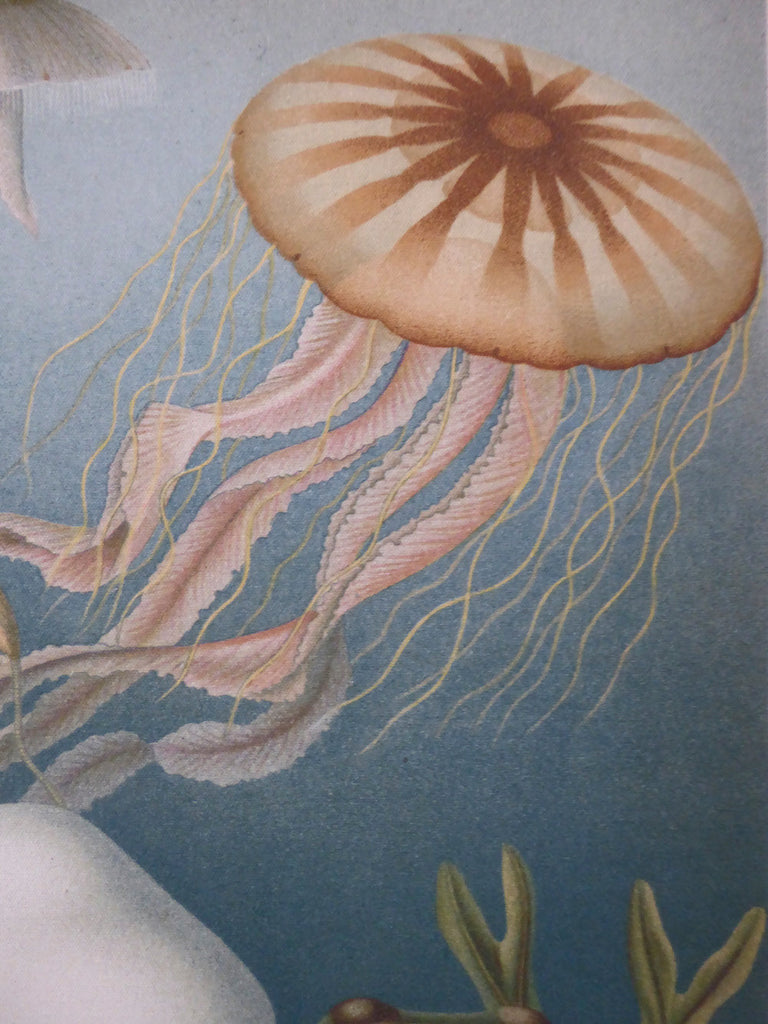 "Large A1 (25"" x 33"") Colorful Discomedusae Jellyfish School Chart - Vintage Marine Animal Wall Art Beach House Poster - Antique Style"