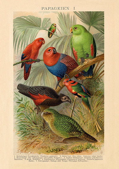 Parrot Print - Sapsucker and Parrot Art Poster - Vintage Bird Illustration - Science Wall Art - Museum Quality