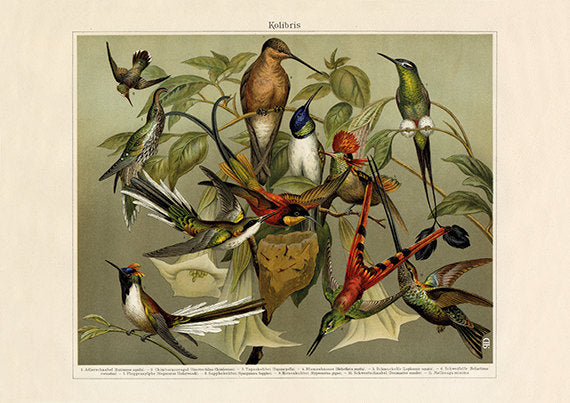 Ruby throated hummingbird, Sword-billed, Hook-billed hermit Poster - Vintage Bird Art Print - Vintage Hummingbird Print - Museum Quality