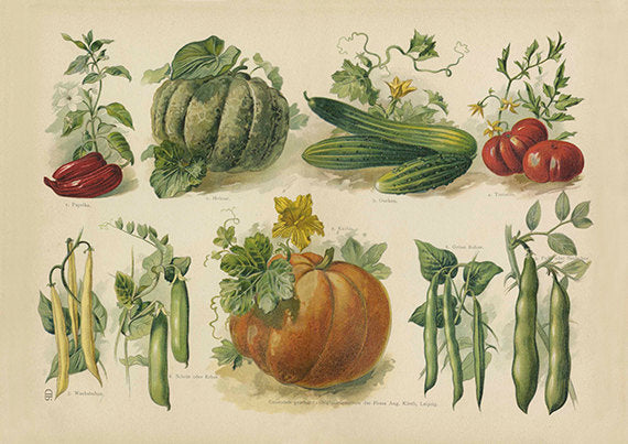 Fall Vegetables Pumpkin Art Print - Vintage Botanical Illustration - Botany Wall Art - Museum Quality