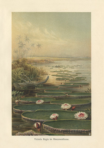 Amazon River Art Print - Vintage Botanical Illustration c.1890 - Antique Wall Art - Museum Quality