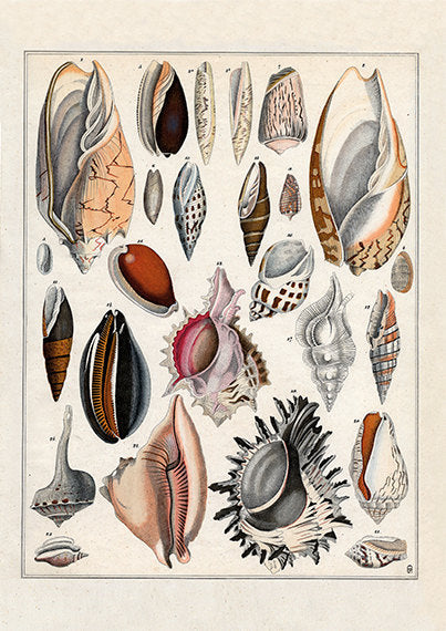 Assorted Sea Shells Art Print - Antique Style Wall Art - Museum Quality