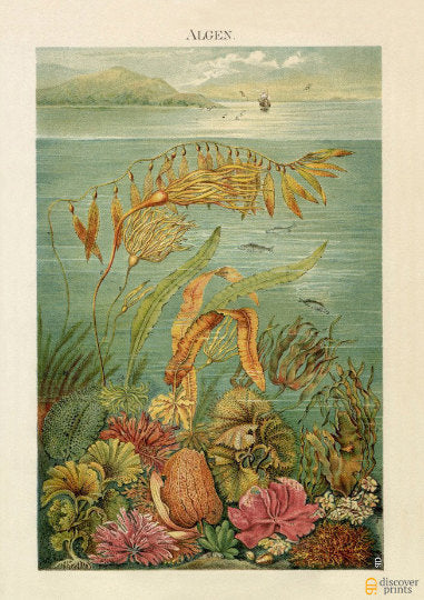 Sealife Nautical Art Print - Botanical Illustration c.1890 - Antique Marine Wall Art - Museum Quality