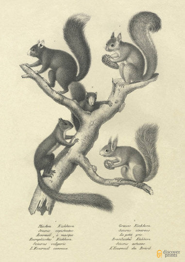 European Squirrels Archival Print - Animal Illustration Wall Art - Museum Quality