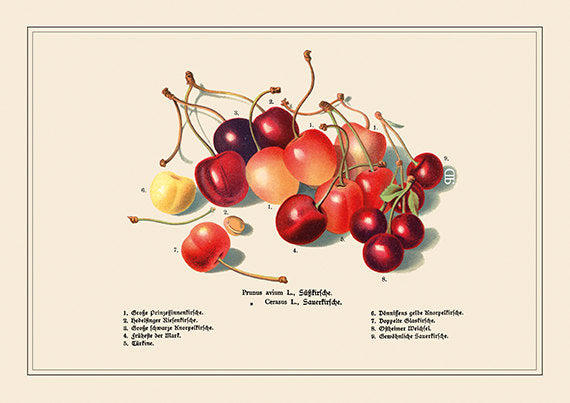 Vintage Cherry Art Print - Botanical Food Illustration - Foodie Cooking Art - Museum Quality