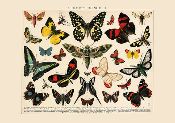 Luna Moth and Moths Art Print - Butterfly Bug Illustration - Science Wall Art - Museum Quality