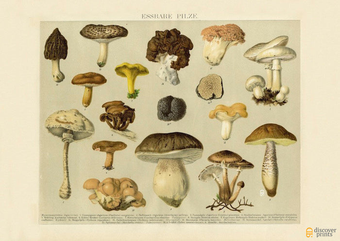 Delicious Edible Mushrooms Art Print - Vintage Botanical Illustration - Science Wall Art
