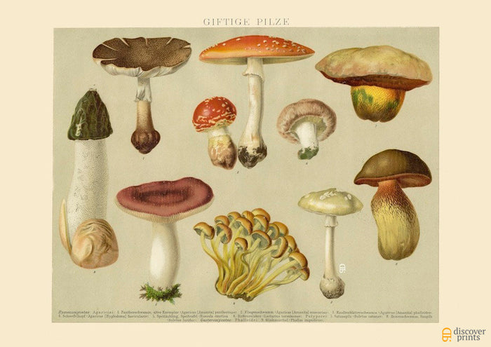 Poisonous Mushrooms No. 1 Art Print - Vintage Botanical Illustration - Science Wall Art - Museum Quality