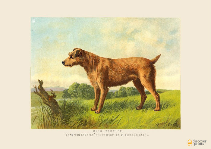 Irish Terrier Art Print - Vintage Dog Illustration - Animal Lover Wall Art Rescue Dog - Museum Quality