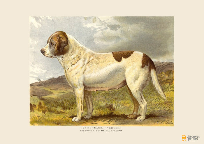 St. Bernard Art Print - Vintage Dog Illustration - Animal Lover Wall Art Rescue Dog - Museum Quality