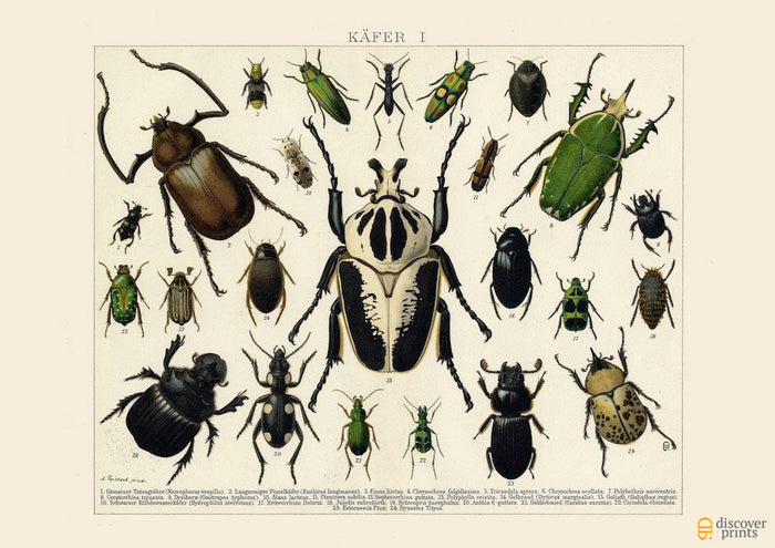 Beetles Art Print - Vintage Insect Illustration - Science Wall Art - Museum Quality