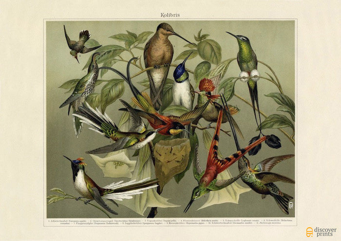 Exotic Hummingbird Art Print - Vintage Bird Illustration - Science Wall Art - Museum Quality