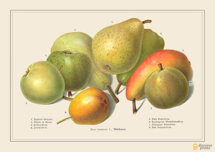 Green and Yellow Pears Art Print - Botanical Illustration - Food Wall Art - Museum Quality