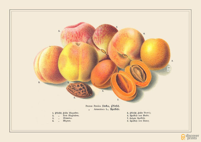 Pink Peach Art Print - Botanical Fruit Illustration - Kitchen Wall Art - Museum Quality