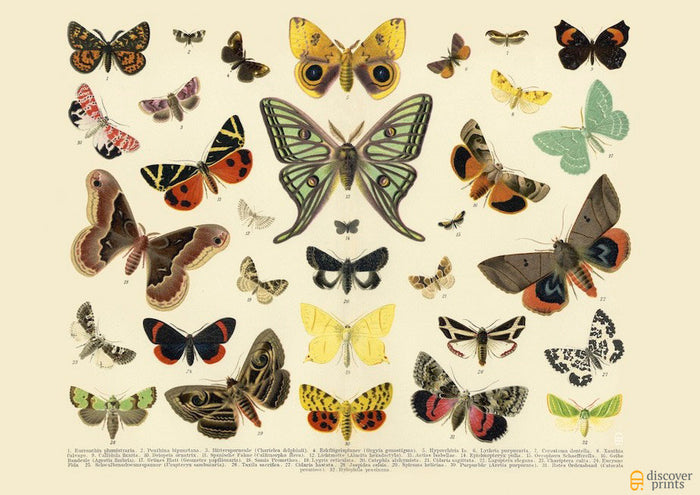 European Hawkmoth Butterflies Caterpillars Flowers Art Print - Bug Art - Museum Quality
