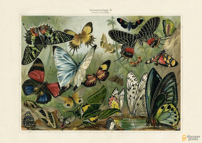 Exotic Colorful Butterflies Art Print - Bugs Illustration - Science Wall Art - Museum Quality