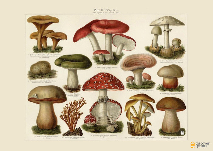 Poisonous Mushrooms No. 2 Art Print - Vintage Botanical Illustration - Science Wall Art - Museum Quality