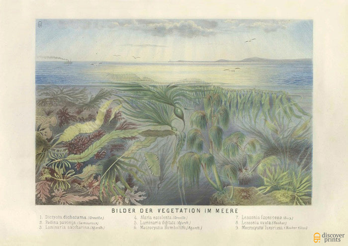 Seaweed, Algae, Coral Art Print - Vintage Marine Illustration - Science Wall Art - Museum Quality