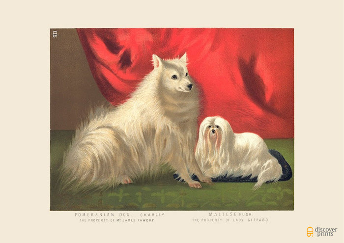 Pomeranian & Maltese Art Print - Vintage Dog Illustration - Animal Lover Wall Art Rescue Dog - Museum Quality