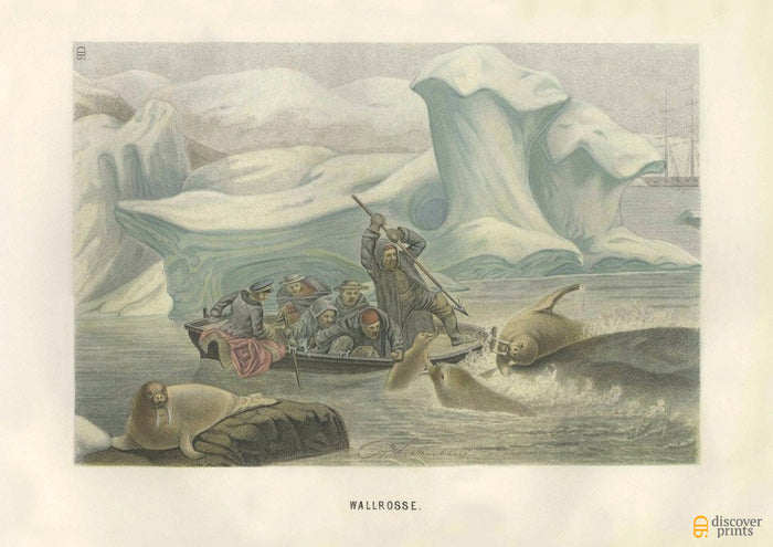 Sea Lion Walrus Hunt Art Print - Vintage Animal Illustrations - Nature Wall Art - Museum Quality
