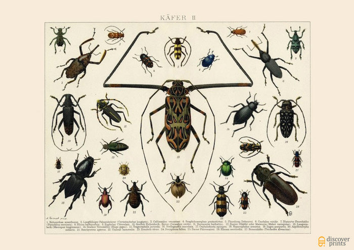 Beetles Art Print No. 2 - Vintage Insect Illustration - Science Wall Art - Museum Quality