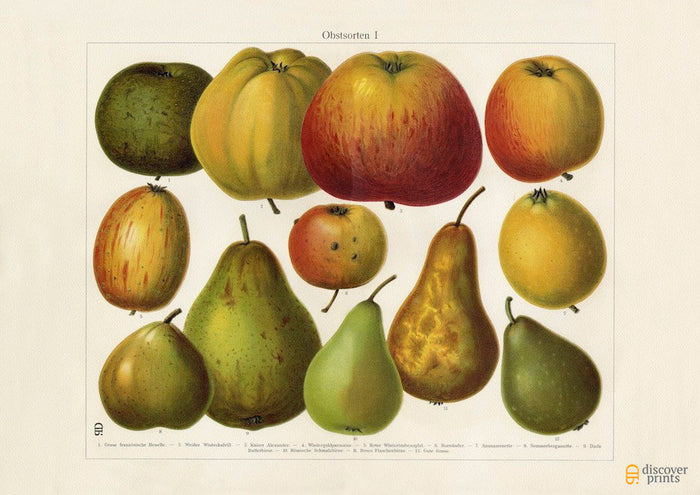 Apples and Pears Art Print - Vintage Botanical Illustration -  Science Wall Art - Museum Quality