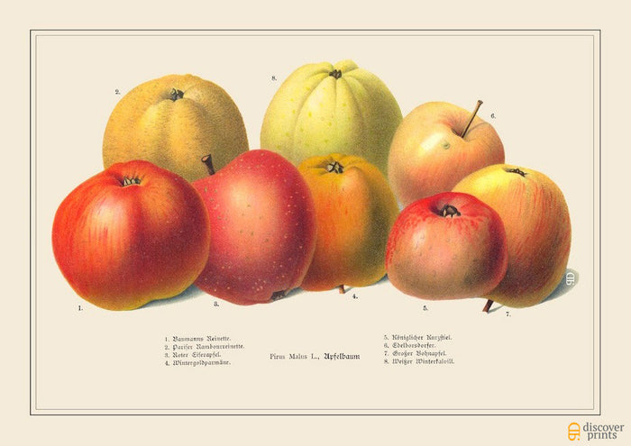 Red Heritage Apples Art Print - Vintage Botanical Illustration - Chef Foodie Gift - Museum Quality