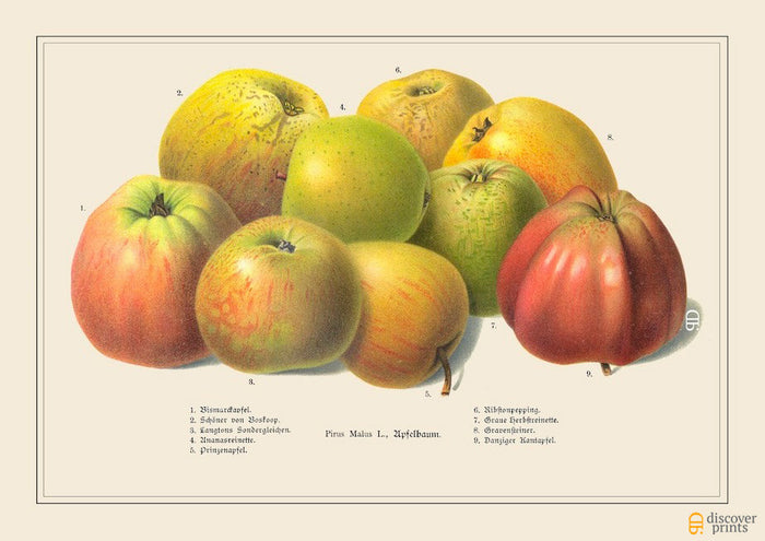 Yellow and Red Heritage Apples Art Print - Vintage Botanical Illustration - Chef Foodie Gift - Museum Quality