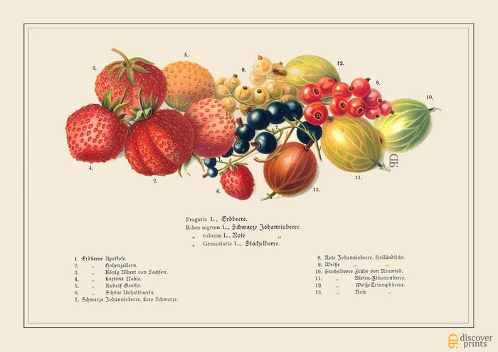 Berries Art Print Strawberry Gooseberry - Botanical Illustration - Science Wall Art - Museum Quality