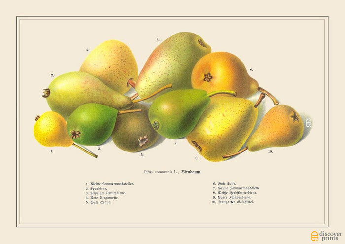 Green and Red Pears Art Print - Botanical Food Illustration -  Kitchen Wall Art - Museum Quality