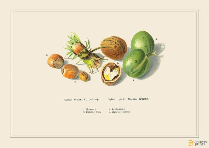 Hazelnut Walnut Art Print - Botanical Food Illustration - Kitchen Art - Museum Quality