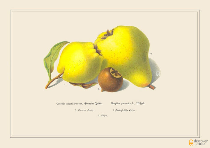 Lovely Quince Art Print - Botanical Fruit Illustration - Foodie Gift - Museum Quality