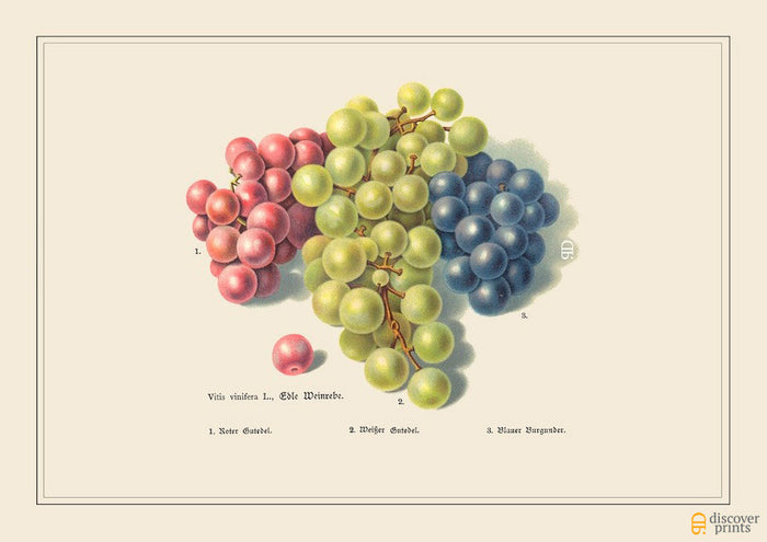 Eating Grapes Art Print - Botanical Fruit Illustration - Kitchen Wall Art - Museum Quality