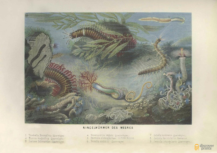 Colorful Seaworms Art Print - Vintage Marine Illustrations - Science Nautical Wall Art - Museum Quality