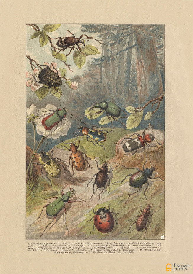 European Beetles Art Print - Vintage Science Illustration - Antique Wall Art - Museum Quality