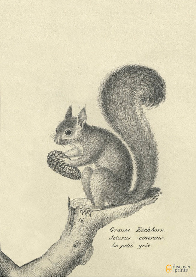 European Squirrel Archival Print - Animal Illustration Wall Art - Museum Quality