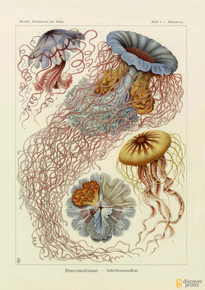 Vintage detailed print of red and blue jellyfish by Ernst Haeckel, Discomedusae, lithograph plate 8 from Artforms of Nature