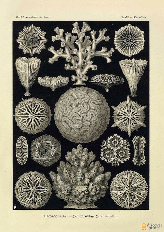Ernst Haeckel Coral (Hexacoralla) Plate 9 Art Print  -  Antique Wall Art - Museum Quality