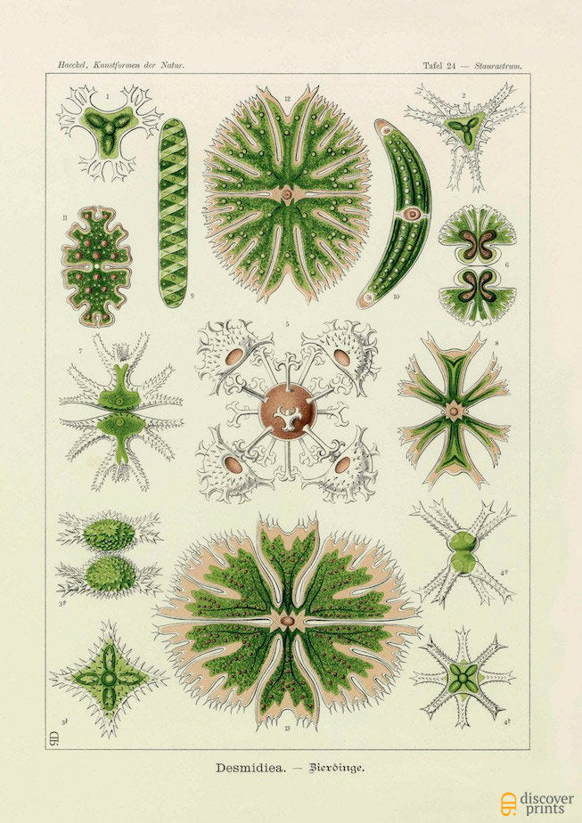 Ernst Haeckel Algae (Desmidiea) Plate 24 Art Print  -  Antique Wall Art - Museum Quality