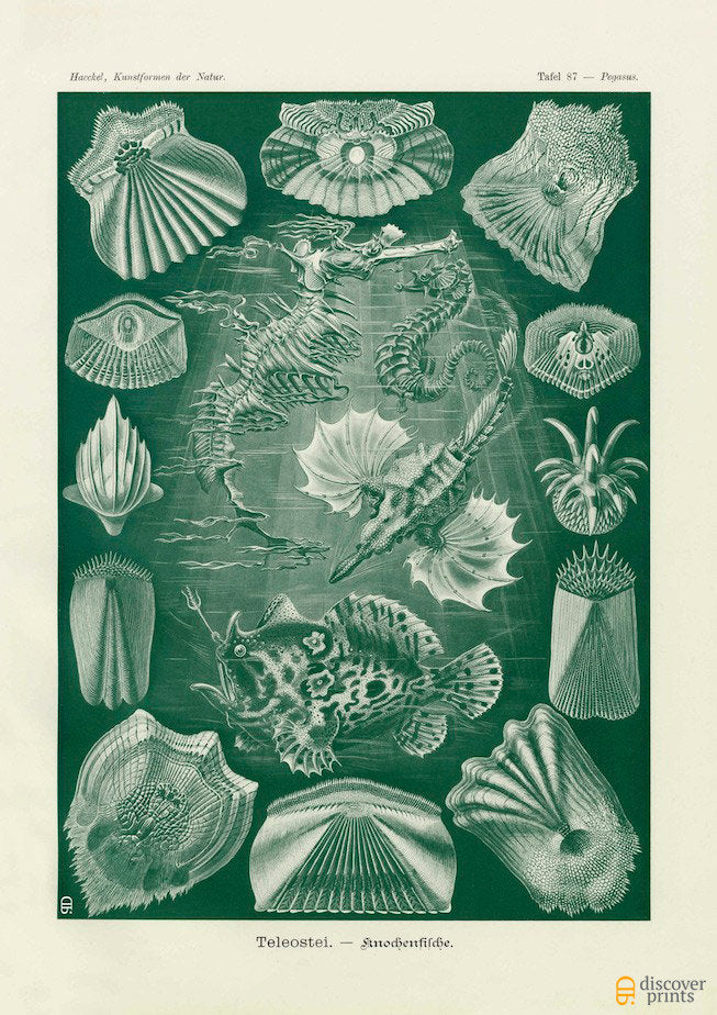Ernst Haeckel Bony Fish (Teleostei) Plate 87 Art Print - Antique Wall Art - Museum Quality