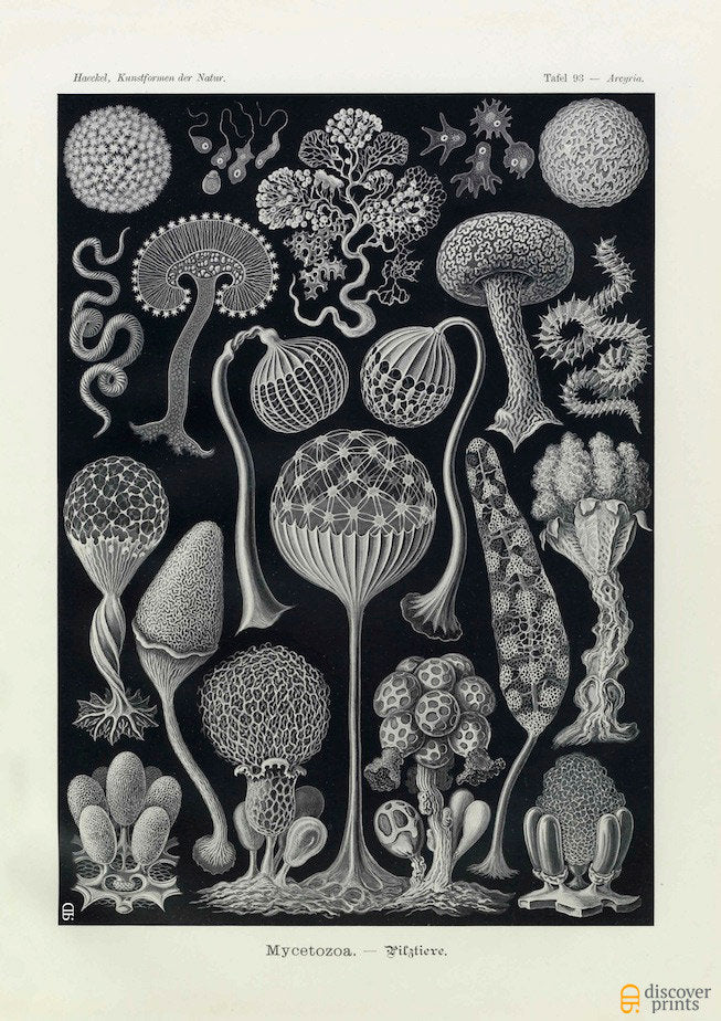 Ernst Haeckel Fungi (Mycetozoa) Plate 93 Art Print - Antique Wall Art - Museum Quality