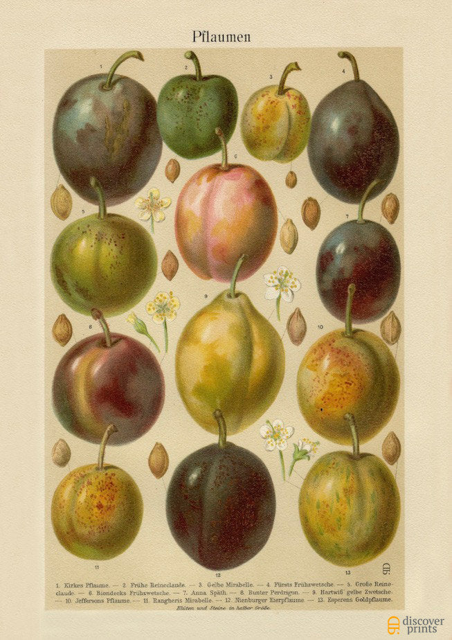 Assorted Plums Fruit Archival Print - Botanical Illustration - Kitchen Chef Wall Art - Museum Quality