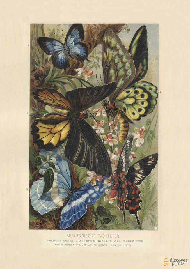 Exotic Butterfly Art Print - Vintage Science Illustration - Antique Wall Art - Museum Quality